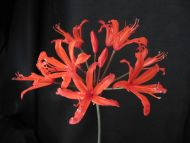 Nerine 'Afterglow'