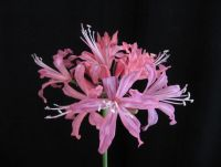 Nerine 'Lovely Lady'