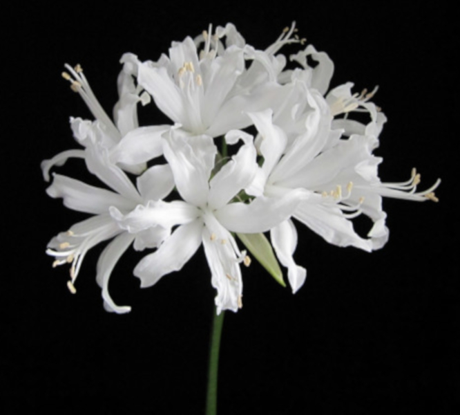 Species - Nerine